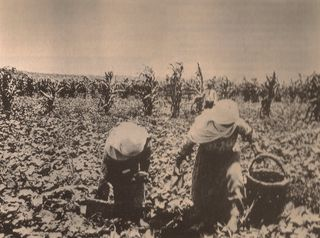 Palestine vegetable harvest
